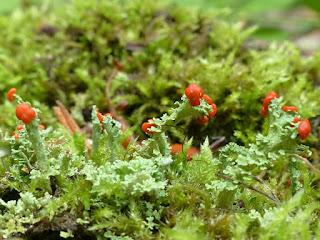 Cladonie soldats britanniques - Cladonia cristatella
