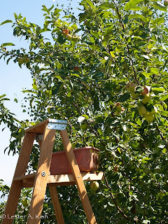 Picking Mantet apples