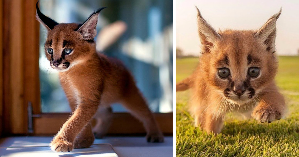 Beautiful Pictures Of Baby Caracals One Of The Most