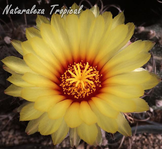 Detalle de la flor del Peyotillo, Astrophytum asterias