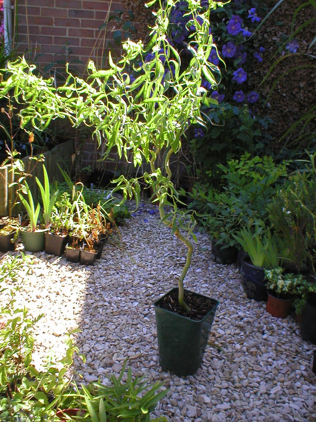 Rachel The Gardener Pruning Curly Or Corkscrew Willow
