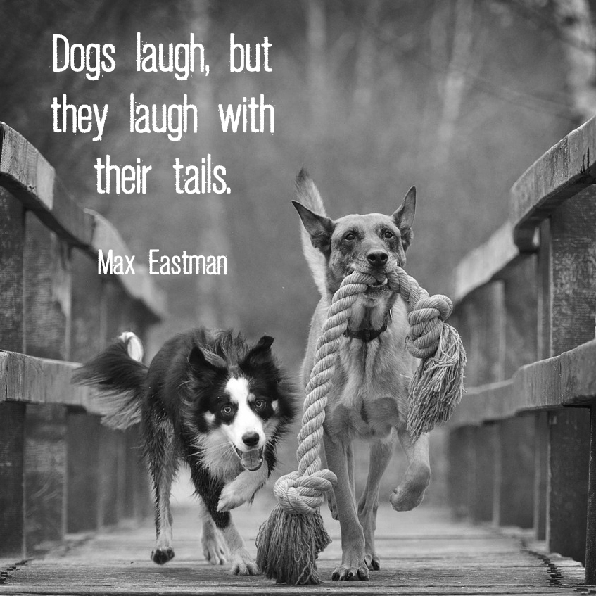"Two dogs running with giant rope toy and quote ""Dogs laugh, but they laugh with their tails."" - Max Eastman"