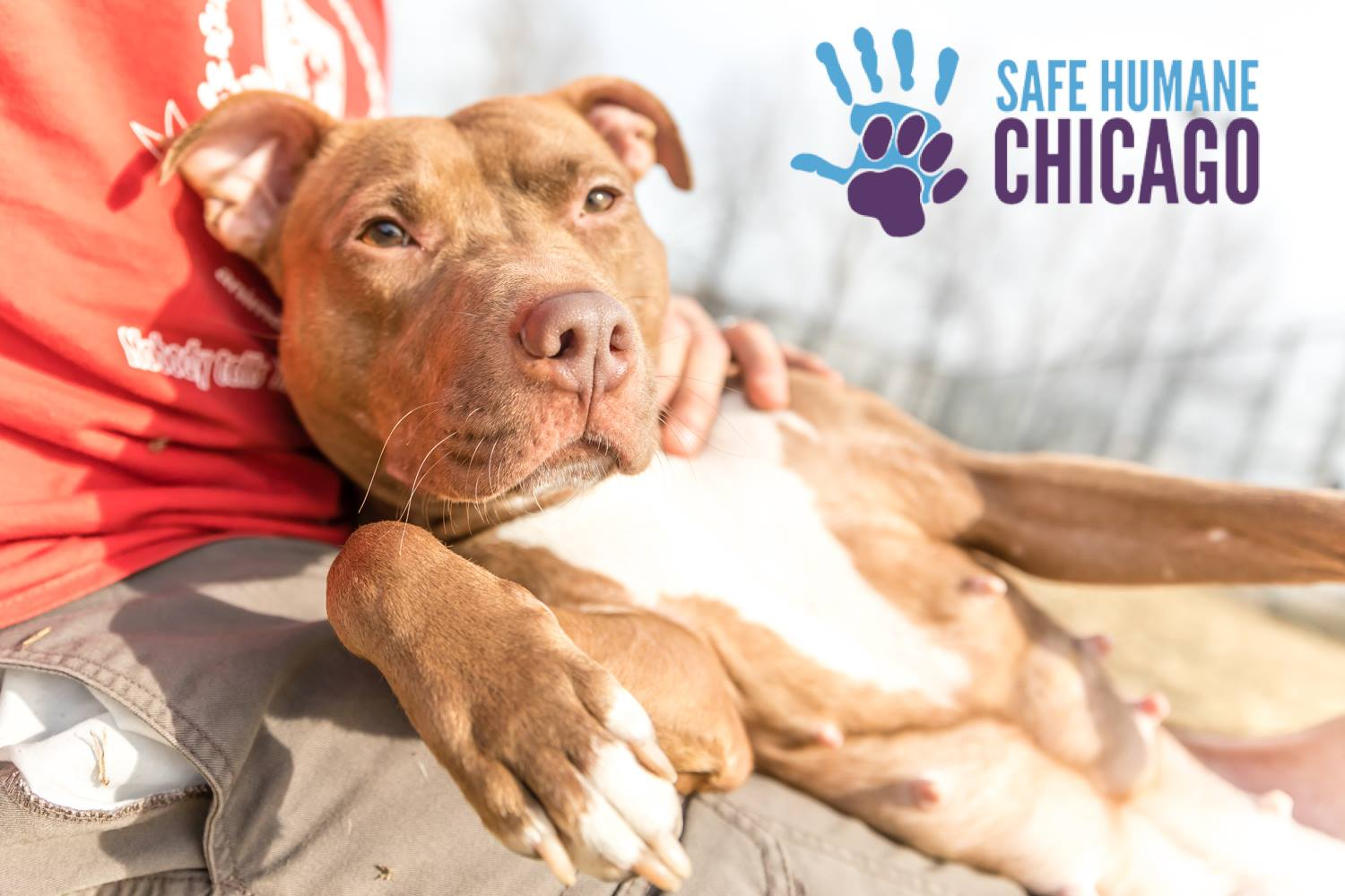 Matilda, Safe Humane Chicago Court Case Dog enjoys a sunny day
