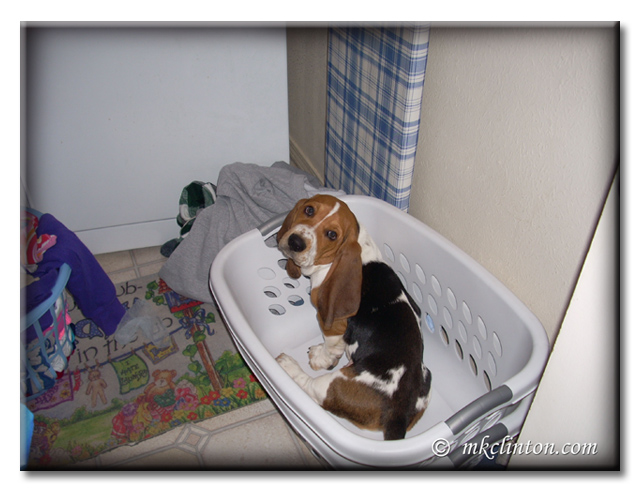 Basset Hound puppy in clothes basket.