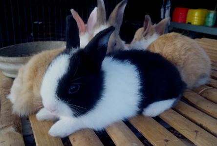 cara membuat kandang kelinci,cara ternak kelinci potong,cara ternak kelinci pedaging,cara ternak kelinci anggora,