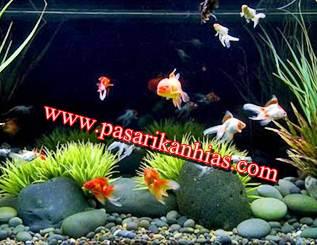 Ikan Hias Air Tawar Untuk Aquarium