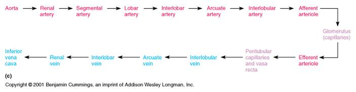 a\u0026pii eportfolio objective 55 trace the path of blood flow through Diagram of the Anterior Pituitary using this diagram helped me to learn the path of blood flow through the kidneys because to me it is straight and to the point