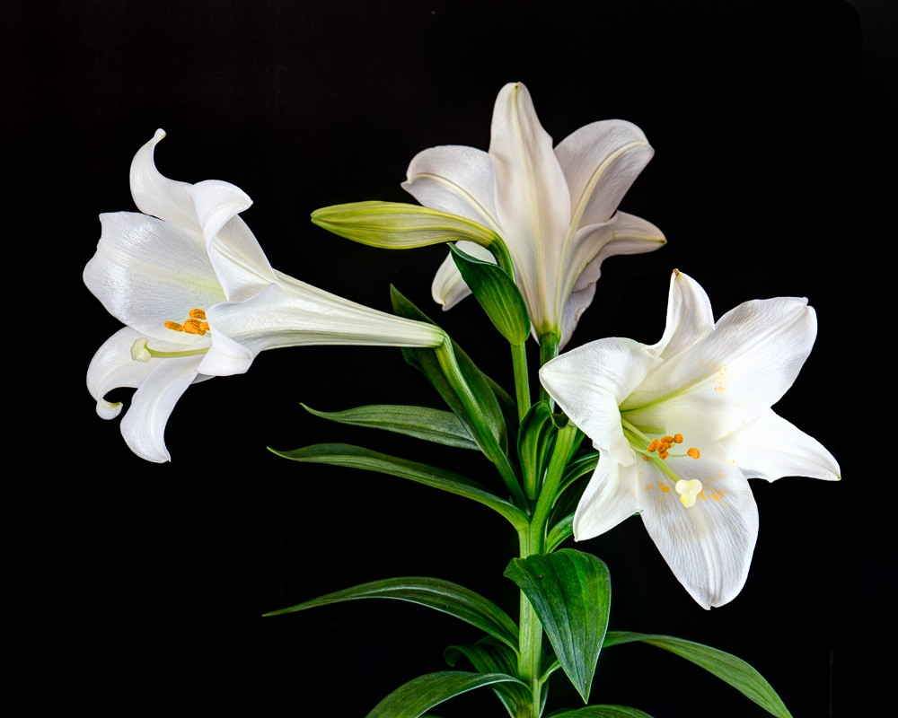 Orchid Iphone Wallpaper Father Julian S Blog The Easter Lily