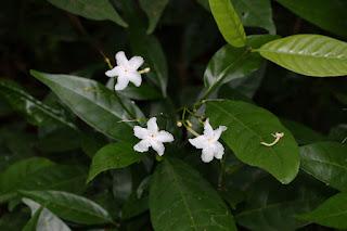 พุดพริกกา (พริกป่า, พริกป่านก) ดอกพุดพื้นเมืองของไทย ดอกสีขาวน่ารัก มีกลิ่นหอม