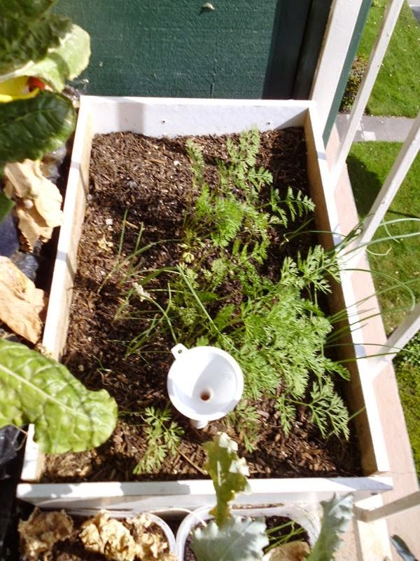 Growing carrots with onion