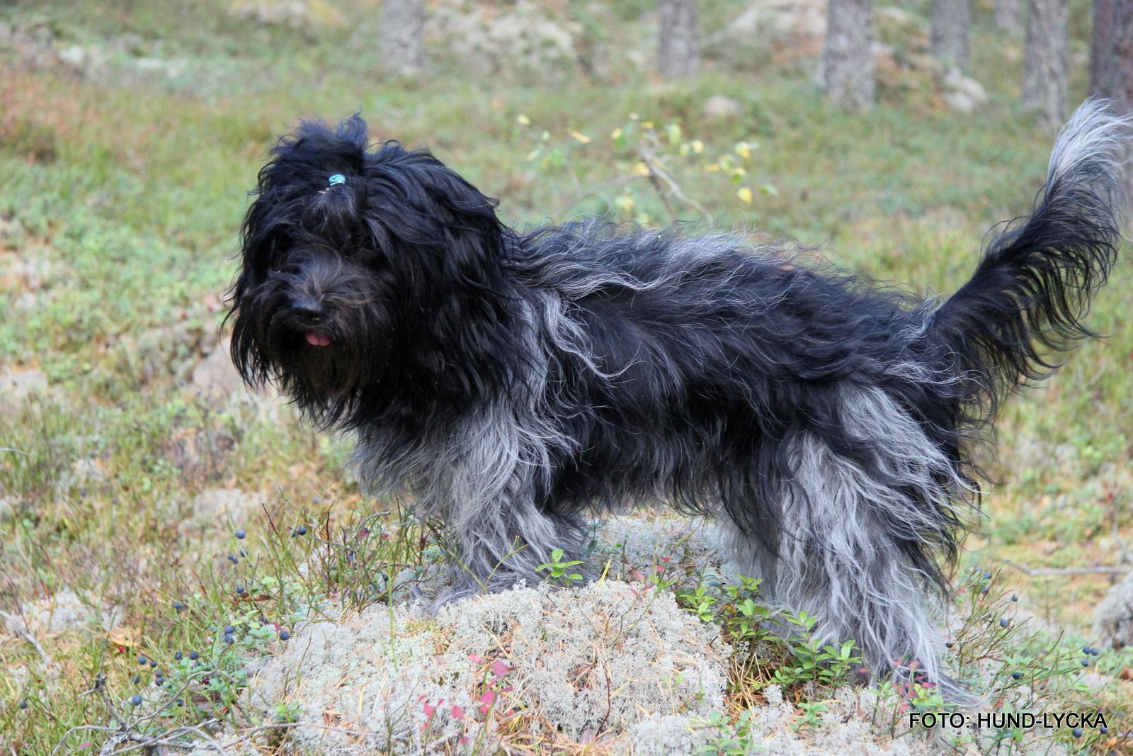kastrera hund