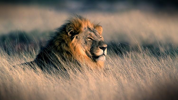 Fond ecran gratuit lion hd fonds d 39 cran hd for Fond ecran gratuit animaux