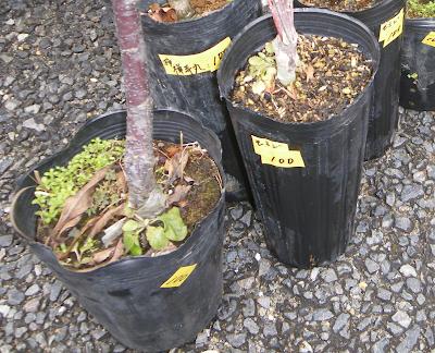 苗木 品種