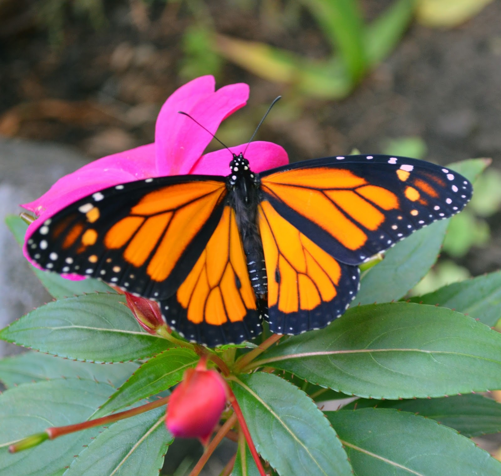 Image of a beautiful monarch butterfly.