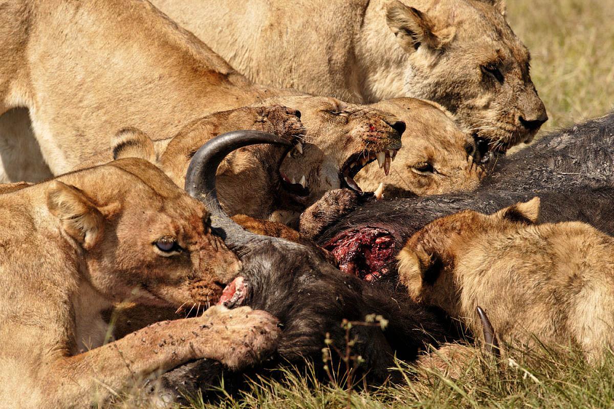 tiger vs bear crocodile elephant and lion relationship