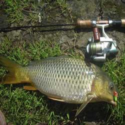 umpan ikan mas empang harian