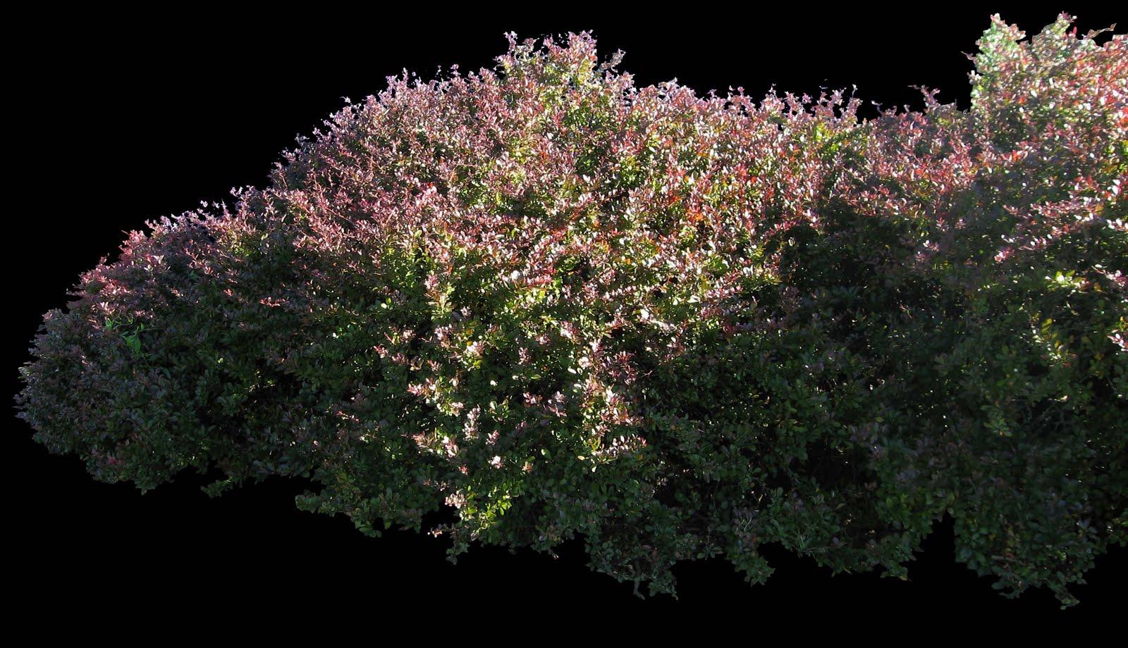 digital hortorium berberis thunbergii atropurpurea nana n mogge. Black Bedroom Furniture Sets. Home Design Ideas
