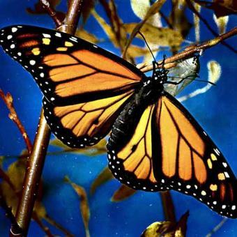 Foto de una mariposa saliendo de sus capullo