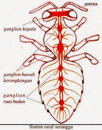 Sistem Saraf Pada Hewan Vertebrata Dan Avertebrata Artikelsiana
