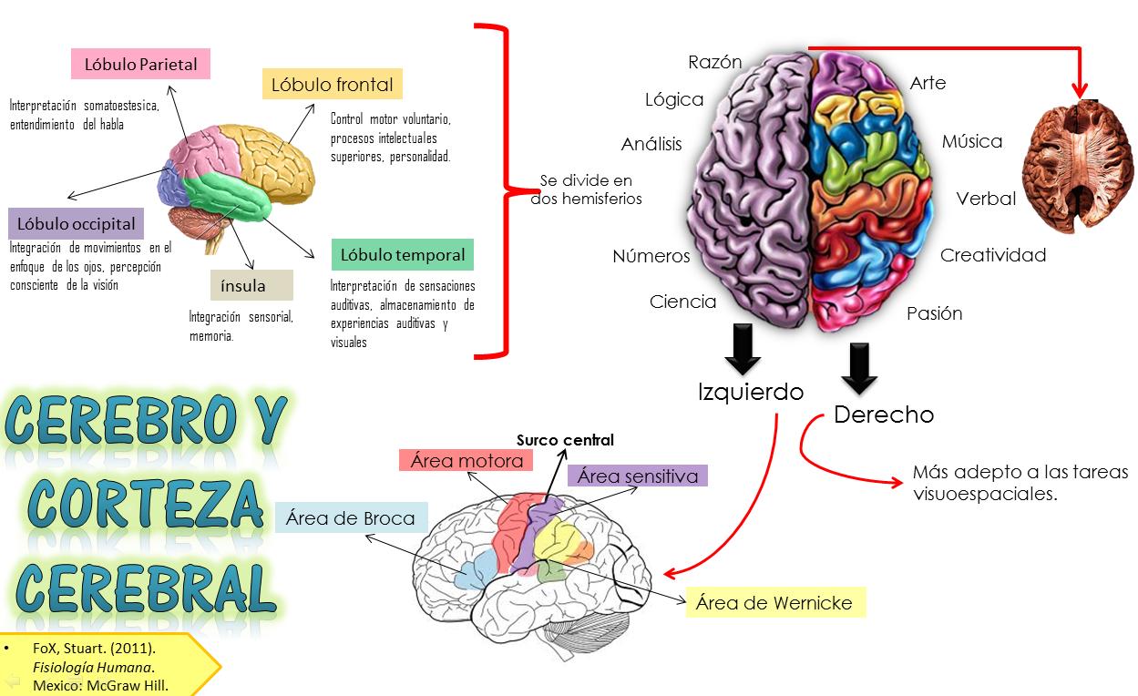 Perfecto Cuál Es La Anatomía Del Cerebro Bosquejo - Imágenes de ...