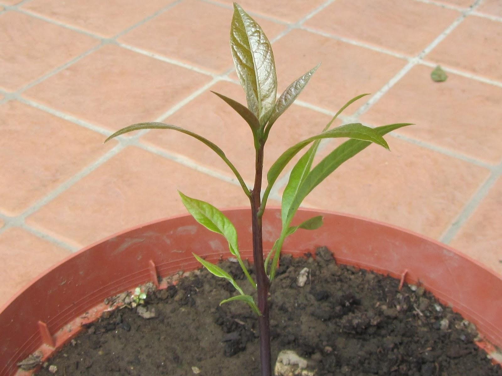 Nocciolo Di Avocado In Acqua il gusto della natura: come coltivare l'avocado (persea