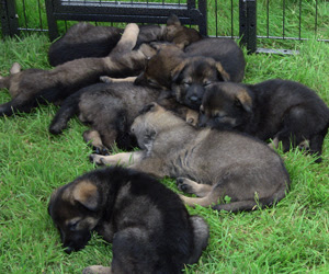 7 German Shepherd pups sleeping outside in their pen in the shade