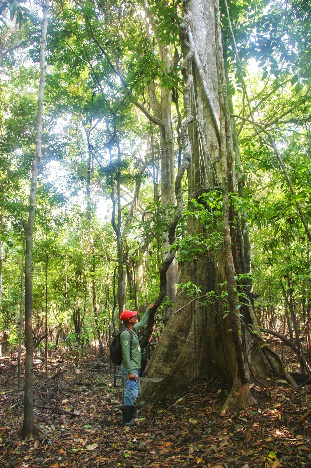 Nativo amazônico nos guiando pela mata amazônica.