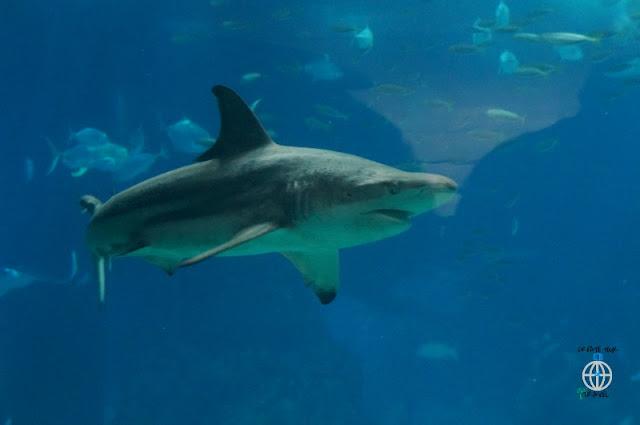 rekin oceanarium lizboa