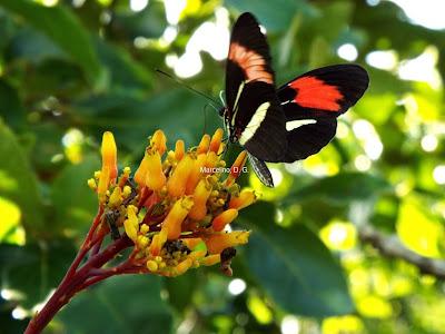 Borboleta, borboleta-castanha-vermelha, Heliconius erato phyllis, Red-Postman, butterfly, picture butterfly, fotos de borboletas, imagens de borboletas, fotos grátis, natureza, blog Natureza e conservação, tocantins, borboletas do Brasil
