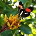 Que bicho é? Você conhece a borboleta castanha-vermelha?