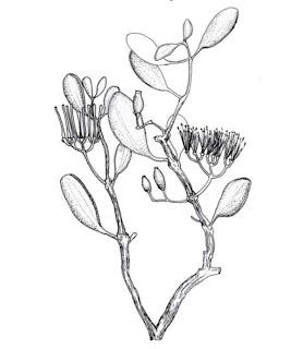 Mengenal Mangrove : Amyema mackayense (Blake.) Dans.