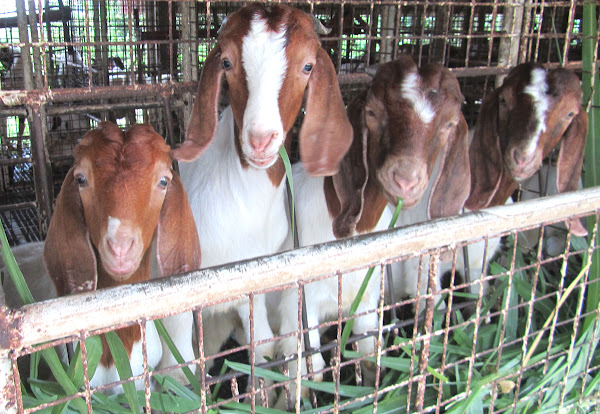 Modern Modern Goat Farming Technology Singapore