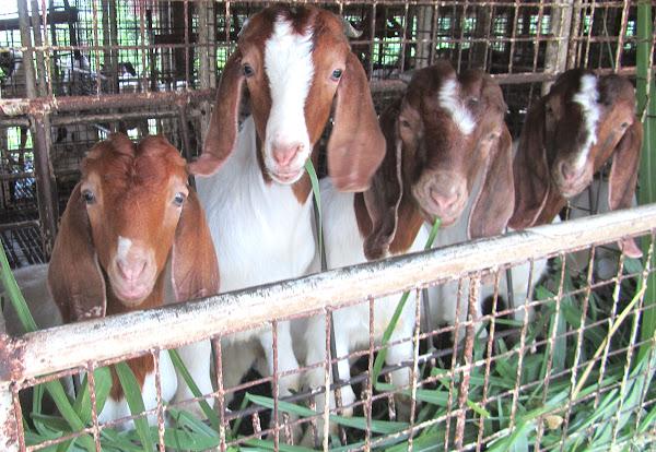 Goat Feeding And Handling Tips For Beginners