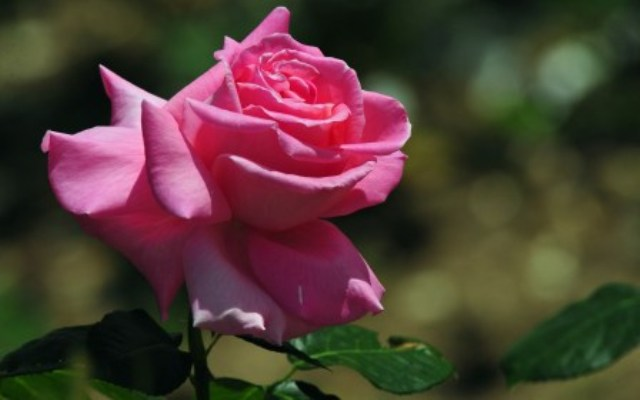Pics Of Beautiful Rose Flowers