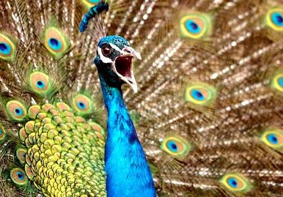 Foto de cerca de un pavo real
