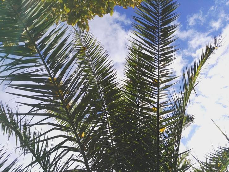 palmiers lille