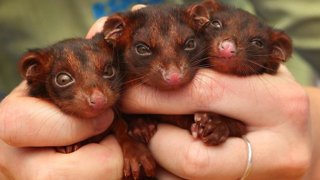 Possums | Ring-tailed orphaned