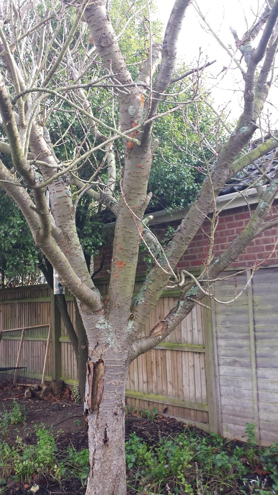 Rachel The Gardener Cherry Tree With Damaged Bark