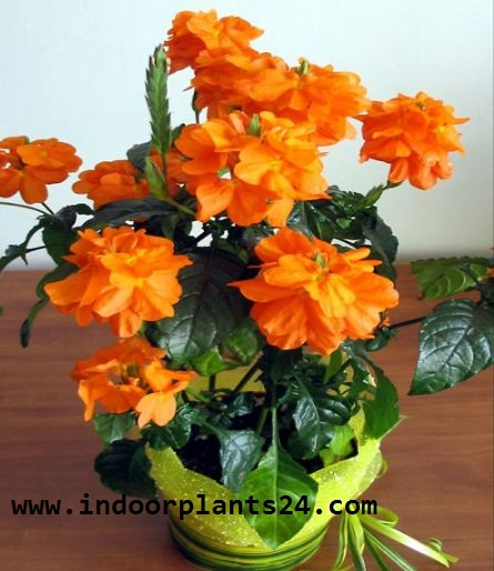 Crossandra Infundibuliformis plant picture potted