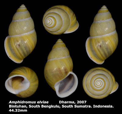 Amphidromus elviae 44.32mm
