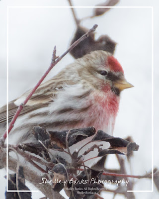 Male Common Redpoll. © Copyright, Shelley Banks, all rights reserved