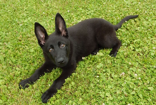 http://www.myinspiredmedia.com/video/german-shepherds-for/22312/black-german-shepherd-pupiess-for-sale