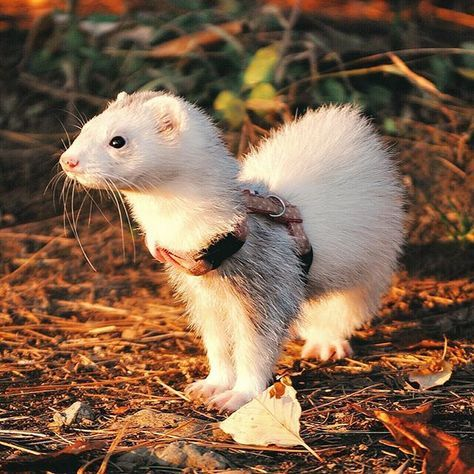 Ferret the Cute Pet | Small Pet | by Pets Planet... - Pets ...