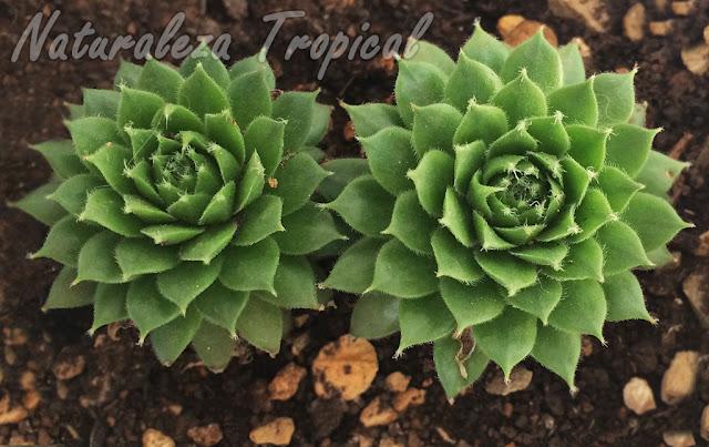 Plantas suculentas del género Sempervivum de nuestra colección
