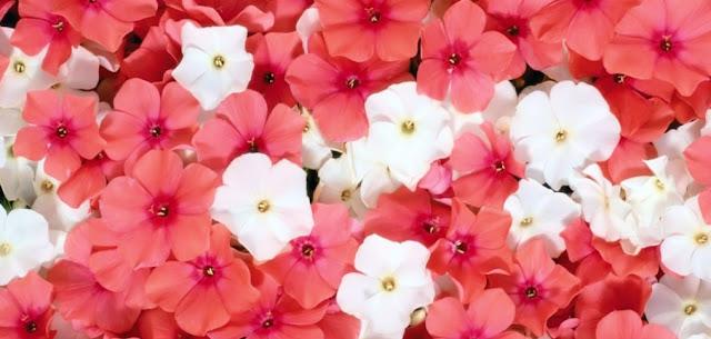 Flores y segunda ley de Mendel