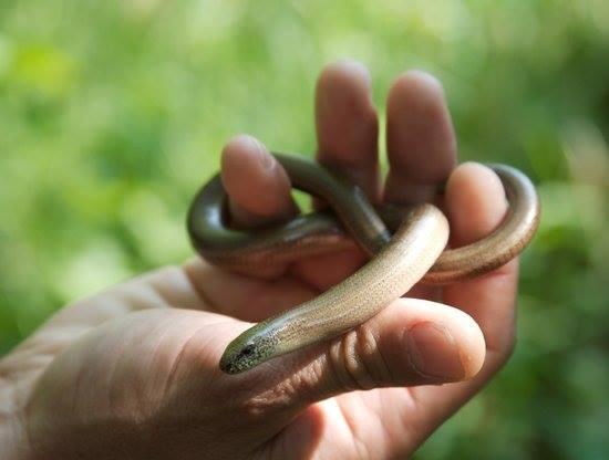 orvets s, lézards, reptile, insectivore, anguidés, serpent de verre, orvet fragile