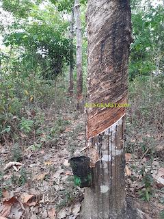 https://www.kangkaret.com/2019/09/mengenal-pohon-getah-karet-lateks-para.html