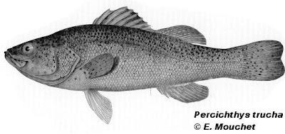 Trucha criolla Percichthys trucha