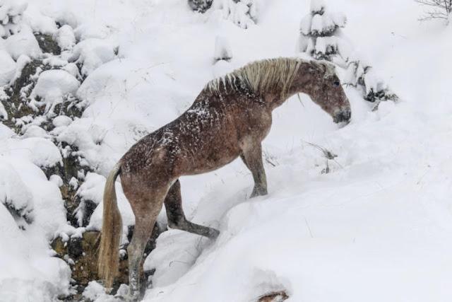 Μαγική εικόνα! Άγρια άλογα μέσα στα χιόνια