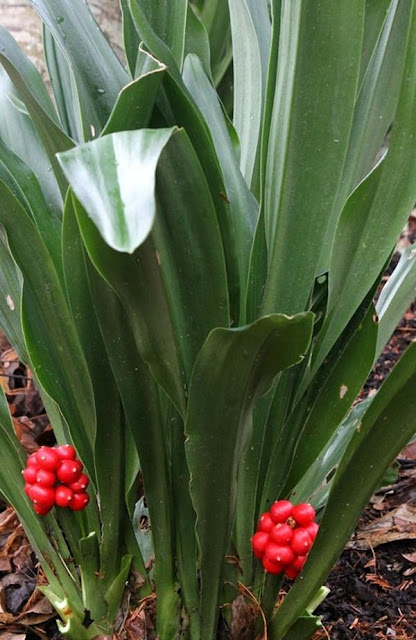 Vạn Niên Thanh - Rhodea japonica - Nguyên liệu làm thuốc Chữa bệnh Tim